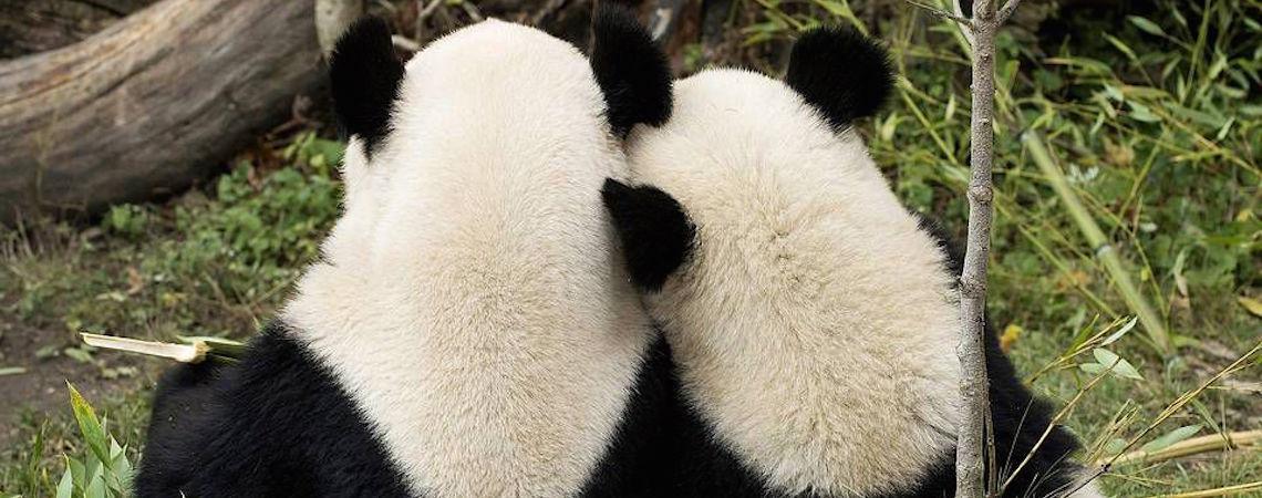 """Pandas aprovechan cuarentena y hacen """"el delicioso"""" después de 10 años"""