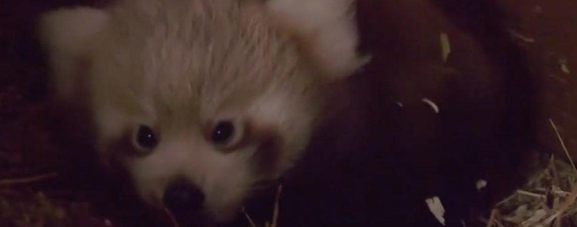 Después de nueve años, nace panda rojo en el zoológico de Berlín