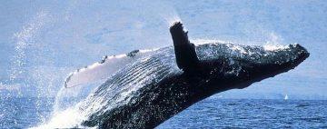 ballenas-varadas-astralia