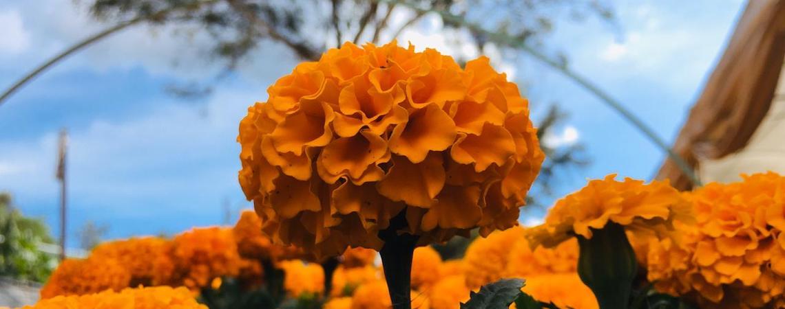 Flor de cempasúchil: la leyenda de amor más allá de la muerte