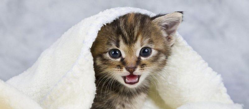 gato-covid