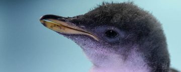 pingüino-mexicano