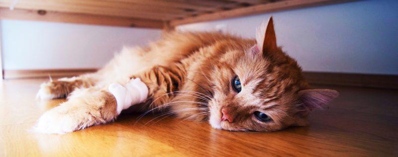 gato-enfermedades