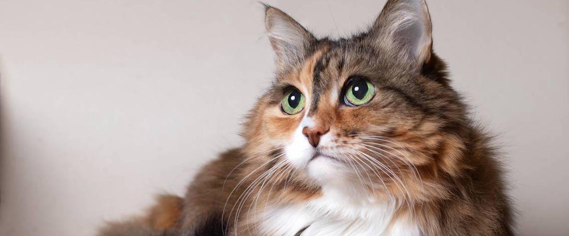 gato-sano-salud