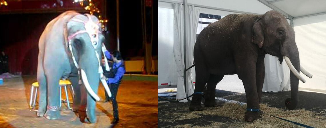 Rescatan a Big Boy, elefante abandonado por un circo en Guadalajara