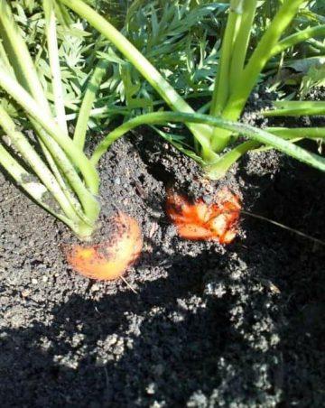 Desarrollo Agropecuario hortalizas